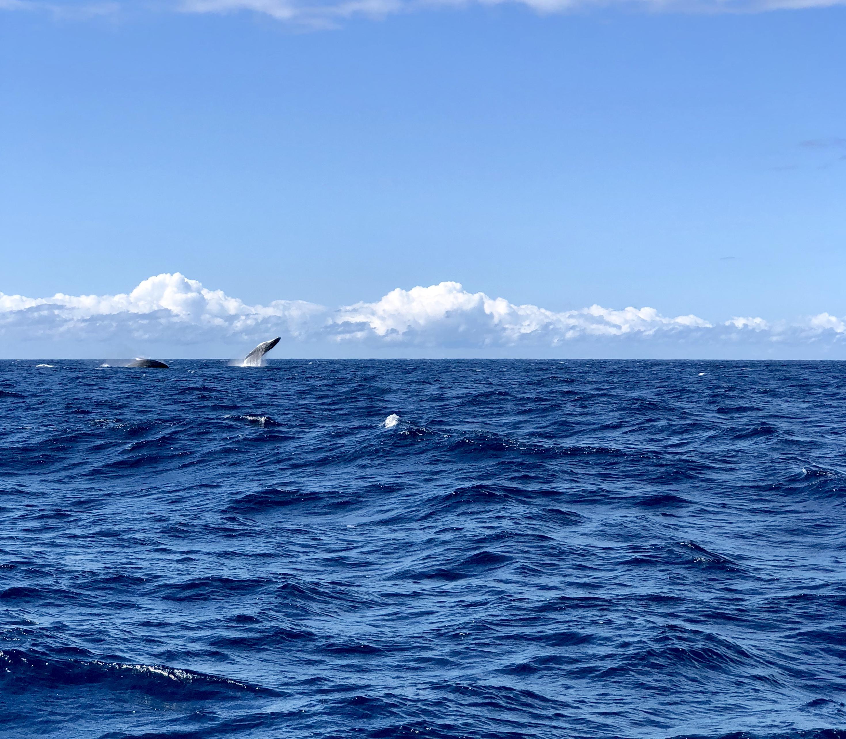 Wild whales : la beauté de quelques baleines à bosses